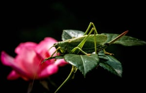 A locust sits on the leaves of a flower in a garden outside Moscow, Russia