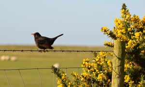 Blackbird and gorse in the morning sunshine.