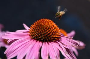 A honey bee visits a purple cornflower blossom in Santa Fe, NM.