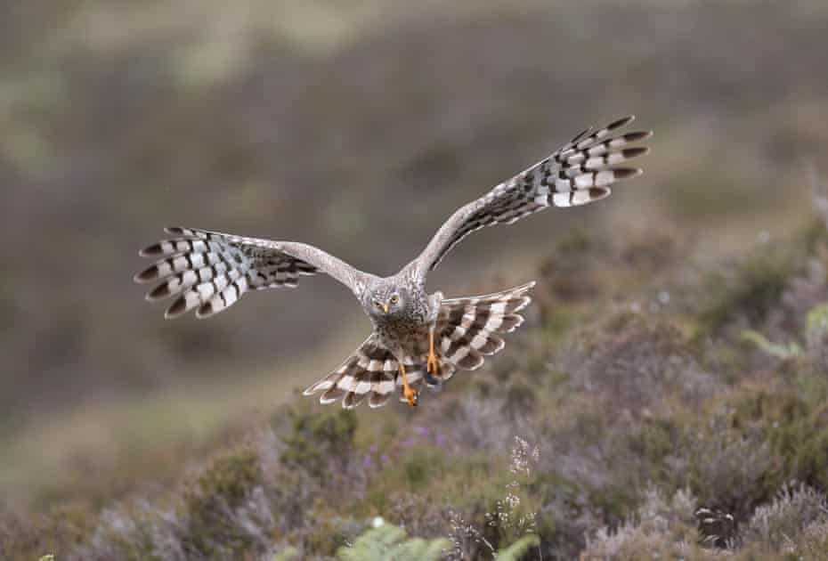 A female harrier returns to her nest with prey (a shrew) clutched in her talons