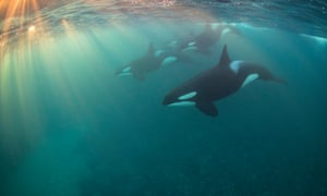 """Most promising underwater photographer of the year – winner. Orca Pod by Nicholai Georgiou (UK). Location: Tromsø, Norway Georgiou got this shot during a winter sunset, with the water down to just 5C. As an envious judge pointed out, """"Most underwater photographers would be happy to get a shot of a single killer whale, but Nicholai had the composure not to panic and time the shot perfectly as a pod of killer whales passed by heading into the setting sun. I'm jealous."""""""