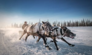 Reindeer pulling a sled in northern Russia