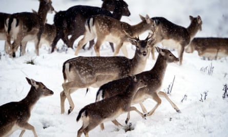 In the bleak midwinter … deers  in the snow near Ripon, North Yorkshire