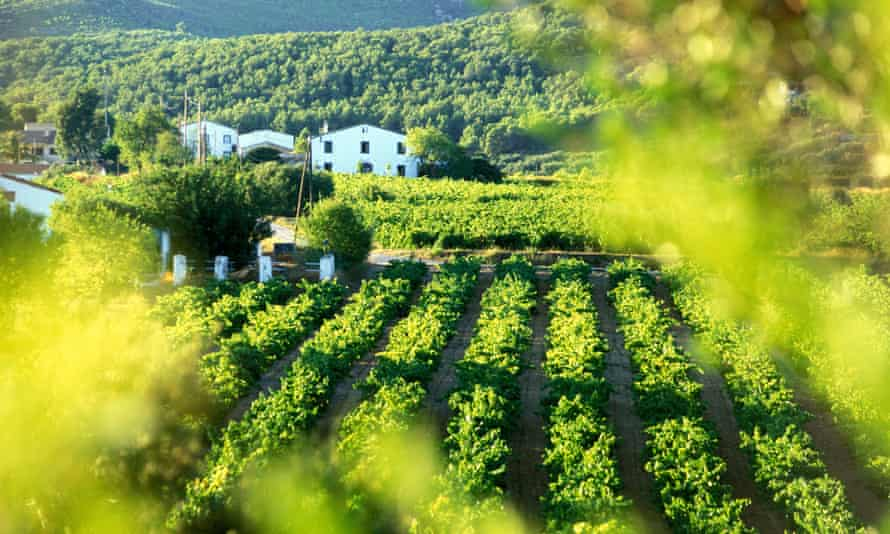 A vineyard in the Penedès wine region of Catalonia, one of the cava-producing areas of Spain.