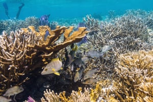 Coral reefs in Laughing Bird Caye and San Pedro in Belize showing an increase in coral growth from restoration.