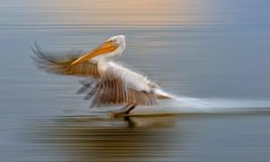 A Dalmatian pelican comes in to land on Lake Kerkini, a bird-watchers' paradise, in Greece.