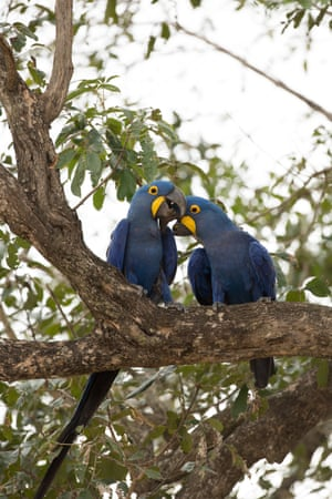 Hyacinth macaws – giant armadillo help them by being 'jungle gardeners', turning and tilling the soil to enable healthy plant/tree growth.