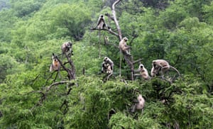 A group of langur monkeys sit on the branches of a tree in Pushkar in Rajasthan state, India.