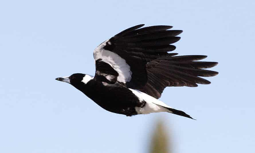 Swooping season reaches its peak in September-October, as magpies breed and guard their nests.