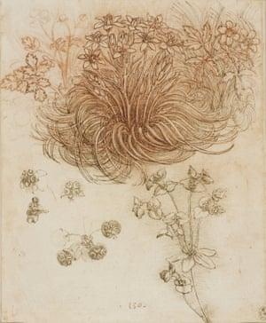 A botanical drawing by Leonardo