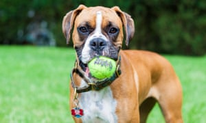 'A real boxer is big, strong, super-energetic, bouncy, wants to play. And play and play.'