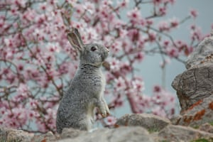 A rabbit in front of almond tree blossoms at Akdamar island in Lake Van, Turkey