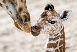 A Nubian giraffe, born this week at animal park in the Netherlands.