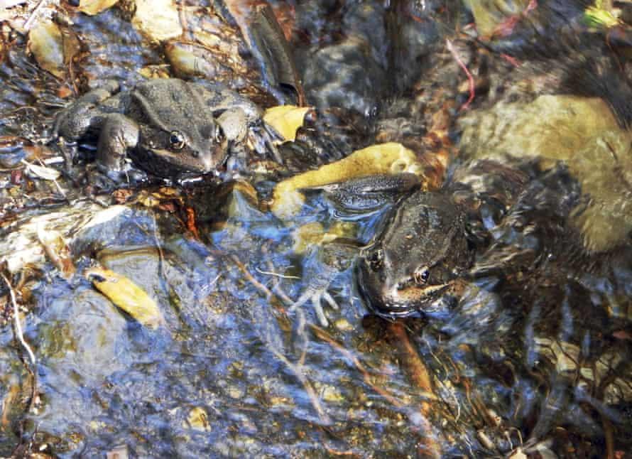 Un par de ranas de patas rojas en peligro de extinción en California.