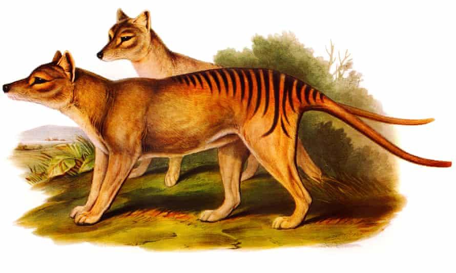 Illustration of extinct thylacines, also known as Tasmanian tigers.