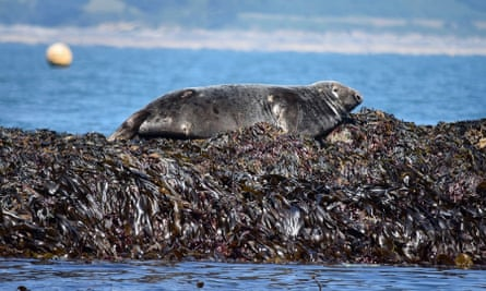 A grey seal hauled out on rocks in the sunshine in Falmouth Bay, UK.