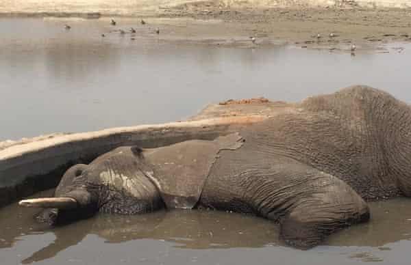 Bull elephant collapsed in drinking trough. Chamabonda Pan, Hwange.