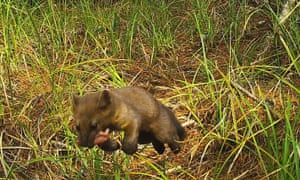 Humboldt martens 'symbolize the wild heart of the forest', says a researcher.