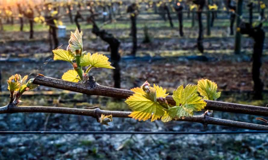 Emerging buds need to be protected from frost damage at Ditchling, East Sussex.