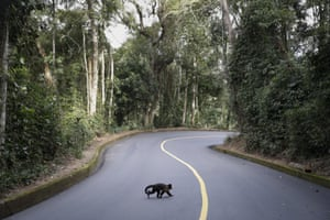 A monkey crosses the Vista Chinesa road during the men's cycling road race final at the 2016 Summer Olympics in Rio de Janeiro, Brazil