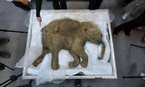 The carcass of the world's most well-preserved baby mammoth, named Lyuba, who fell into a mud-hole and died in Siberia 41,000 years ago.