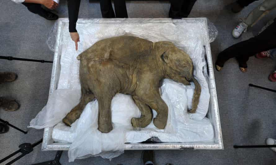 The remains of a well-preserved baby mammoth, named Lyuba, on display in Hong Kong in 2012.