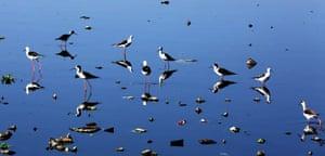 Black-winged stilt migratory birds fly over the Shahpura lake in Bhopal, India