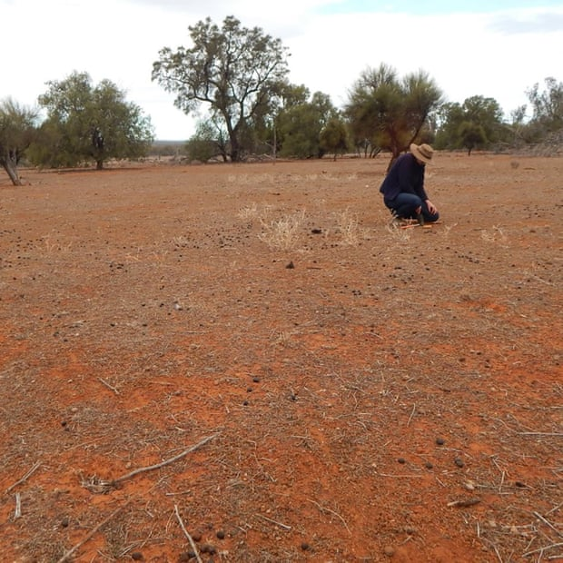 'Like a moonscape': Prof Letnic in an open grazing area in Yathong, central NSW. Photograph: Mike Letnic