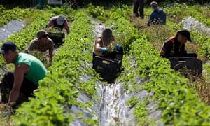 Workers picking strawberries in Devon.
