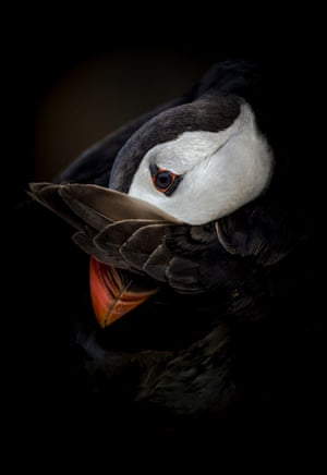 Animal portraits highly commended (2018): Shy Puffin by Csaba Tokolyi, Skomer island, Pembrokeshire, Wales.