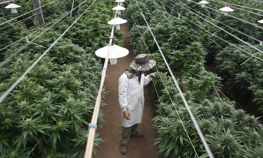 Cannabis plants at a medical plantation in Israel. The plant is used to treat anxiety.