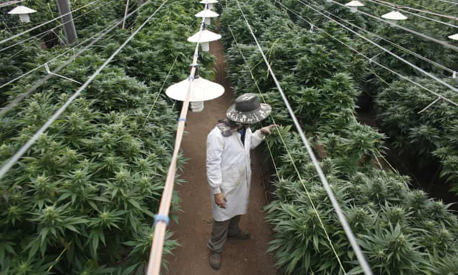 Checking cannabis plants