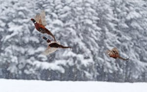 Pheasants in the snow near Hamsterley forest in County Durham after an overnight blizzard hit parts of the UK
