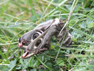 An emperor moth on chalk grassland near Cuckmere Haven in the South Downs national park