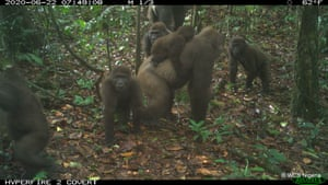 Mbe mountains, Nigeria: Rare images of a group belonging to one of the most endangered gorilla subspecies in the world suggest their numbers could be recovering after decades of persecution