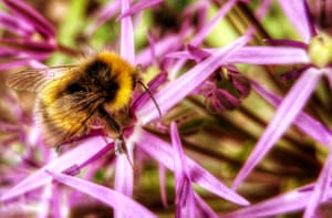 A bumble bee (Bombus pratorum) male on allium in Derbyshire. Up to 15,000 people took part in the 2016 Great British Bee Count, recording 383,759 bees. This year's count will run until 30 June.Download the free app to monitor and learn about our endangered bee population and get tips for bee-friendly planting.