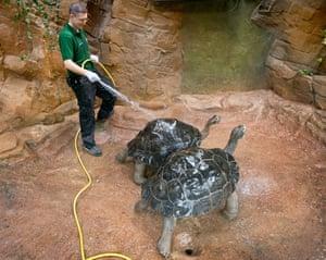 The Galapagos tortoises enjoy a shower
