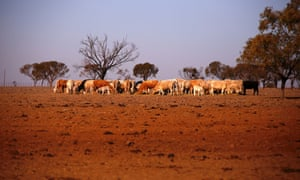 cattle on drought-affected land