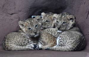 Erfurt, Germany Three lion cubs stick together in the Thuringian zoo in Erfurt, Germany