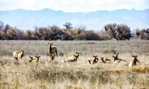 Tule elk at the San Luis national wildlife refuge in California, US