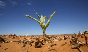 A maize plant among other dried maize in a field
