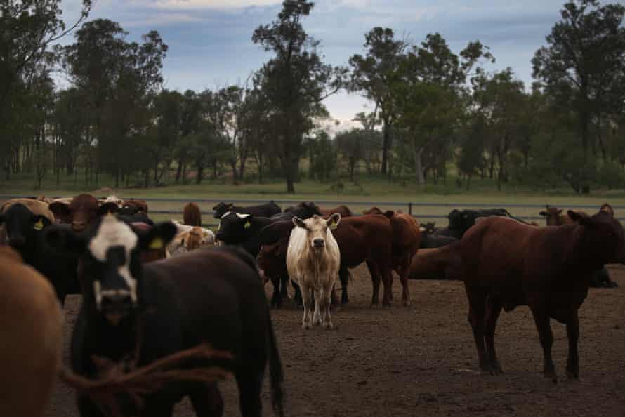 Mixed breed cattle are seen at 'Mamaree'.