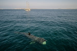 A basking shark in the waters of Gunna Sound between the islands of Coll and Tiree, on the west coast of Scotland.