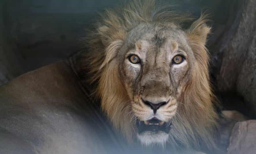 A man was left in a critical condition after jumping naked into a lion enclosure in Santiago, Chile.