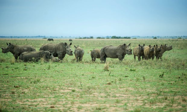 POLL: Should the rhino horn trade in South Africa be banned?