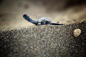 A newly hatched turtle makes its way to the sea at Davultepe coast in Mersin, Turkey.