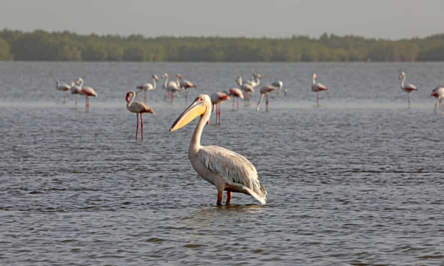 Pelican and flamingoes in the Casamance River near Ziguinchor, Senegal