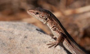 Wall lizards are common, where domestic cat numbers are low.