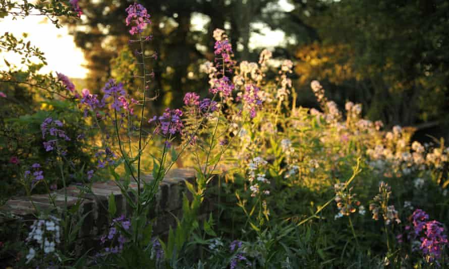 Hesperis matronalis adds colour to the top garden.