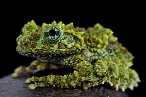 Portrait of a mossy frog